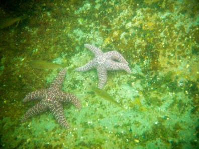 Two star fishes in the waters of Mountain Point in Ketchikan Alaska.