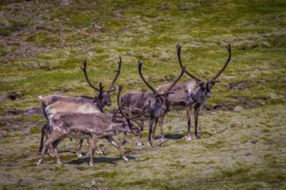 Reindeer look across the land