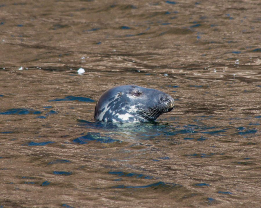 Head of a grey seal poking out from the waters of the Abandoned houses can be explored in Bonaventure Island.