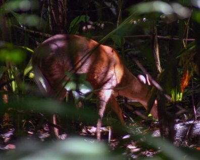A deer grazes in the woods of Corcovado National Park in Costa Rica - finding paradise in the osa peninsula