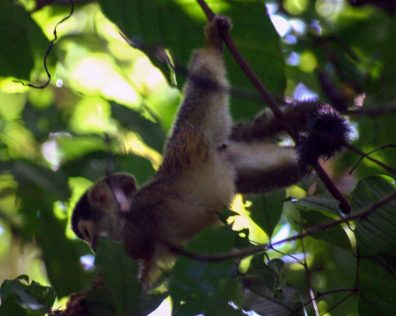 A baby white faced capuchin monkey swings through the trees in Costa Rica - finding paradise in the osa peninsula