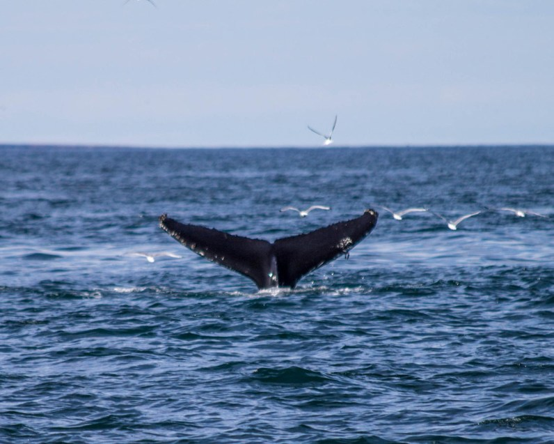 A whales tail drops into the ocean - An Epic 14 Day Iceland Itinerary