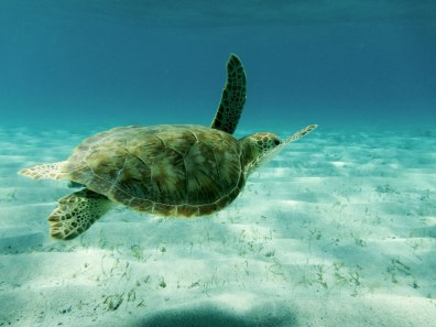 A sea turtle glides through the water in the Tobago Cays - Swimming with turtles in the Tobago Cays