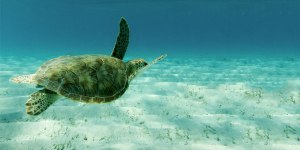 Swimming with Turtles in the Tobago Cayes