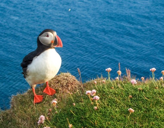 A Puffin stands on the edge of the Latrabjarg Puffin Cliffs in Iceland