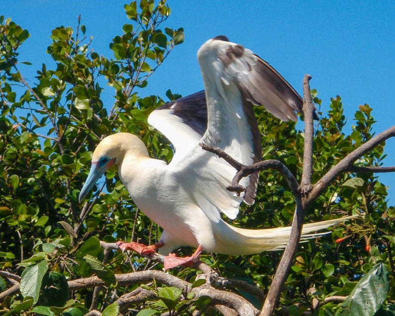 Red-footed booby landing on a tree in Half Moon Caye Belize.