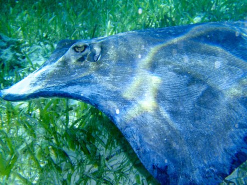 Stingray in Ray Alley in Belize.