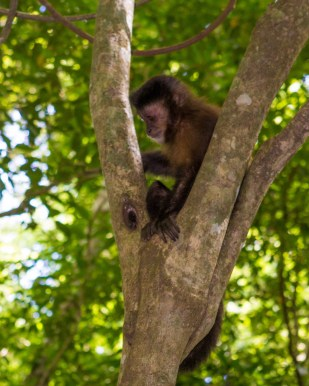 We spotted a capuchin monkey on a tree on our visit to Iguazu Falls Argentina with kids.