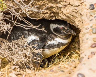 A Magellanic penguin gets some shade in an underground burrow at the Punta Tombo Penguin Conservation Area in Argentina