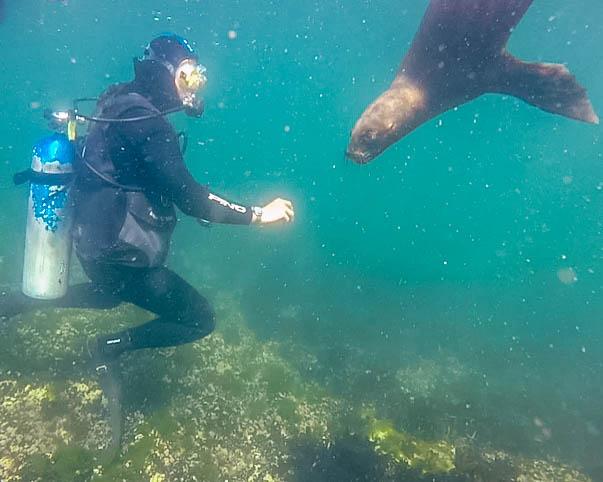 A SCUBA diver reaches out towards a curious sea lion in Punta Loma Argentina