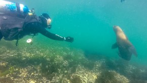 A SCUBA diver in Punta Loma Argentina reaches out towards a sea lion
