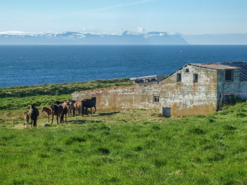 Icelandic Horses stand next to a decrepit stone barn on the Vatnsnes Peninsula in Iceland