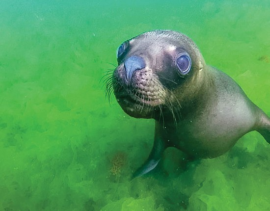 A sea lion in Punta Loma Argentina stands out against bright green algae