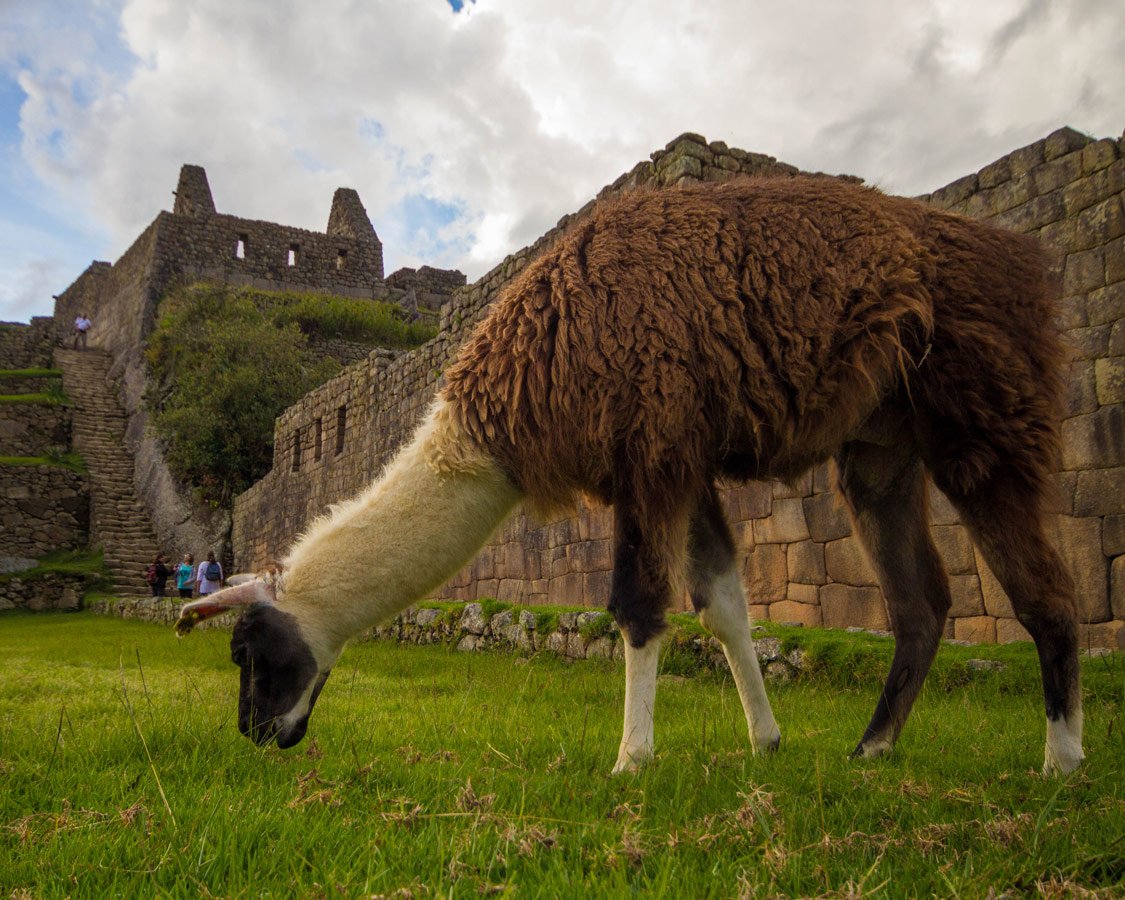 Llamas were everywhere and is a surefire favorite when visiting Machu Picchu with kids.