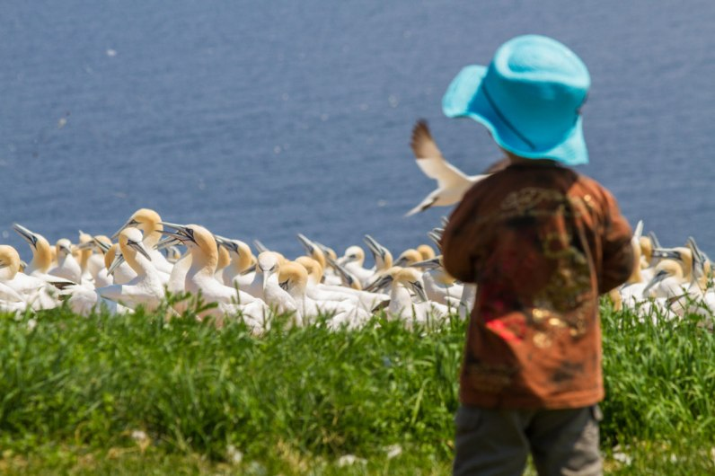 Bird flocks on Bonaventure Island Quebec. The Gaspe Peninsula is one of the most amazing places in Canada