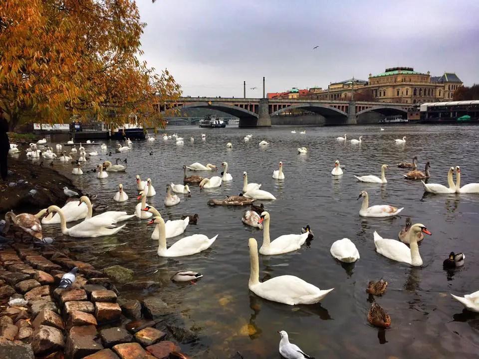 swans-prague