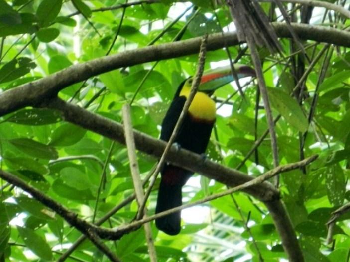 Toucan in Cahuita Park, Costa Rica