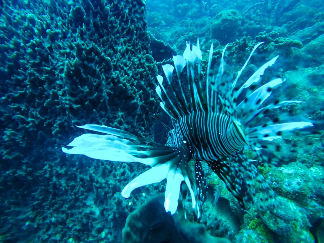 Lion fish - Diving in Barbados (Photo: Macca Sherifi)