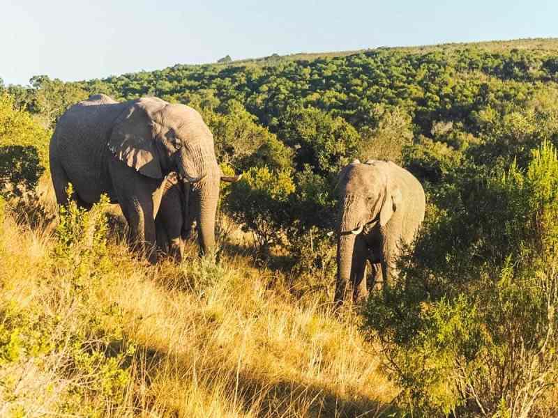 Elephants at Amakhala Game Reserve, South Africa