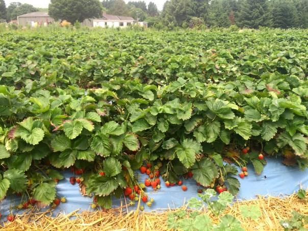 Strawberry plants at Crockford Farm, Pick Your Own, Weybridge