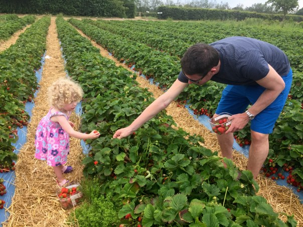 Picking strawberries at Crockford Farm, Pick Your Own, Weybridge