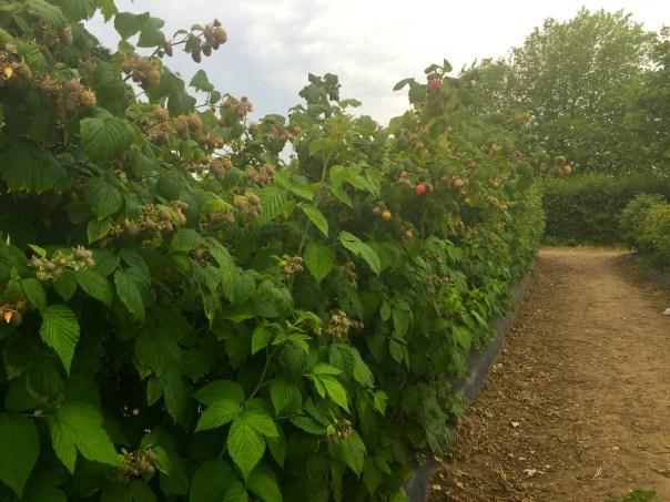 Raspberry bushes as Picking raspberries at Crockford Farm