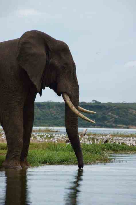 An elephant at the Kazinga Channel