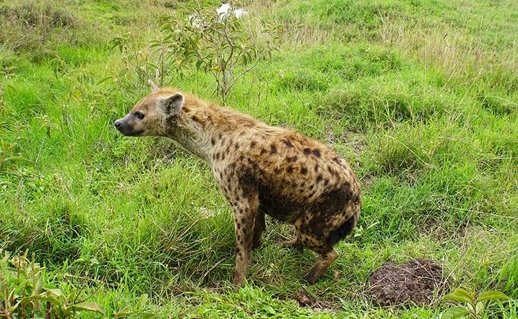 Hyena on safari at Ngorongoro Crater, Tanzania