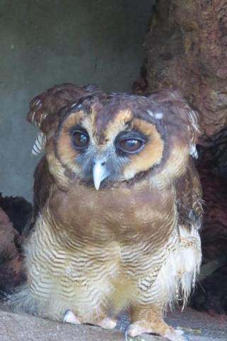 owls of kl bird park