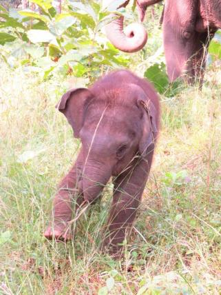 baby elephant satpura