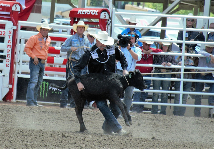 Image of a cowboy throwing a calf in the tie-down roping event at the Calgary Stampede rodeo