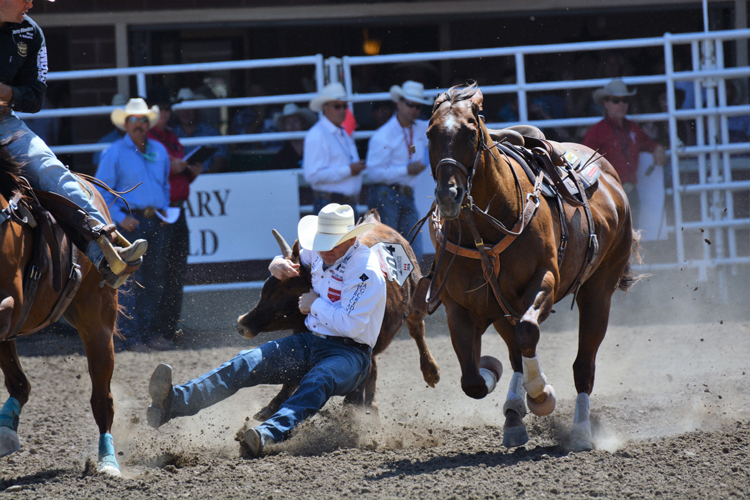 Image of steer wrestling at the Calgary Stampede rodeo