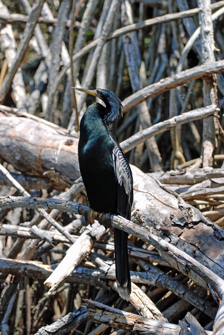 An image of an Anhinga bird in San Blas Nayarit