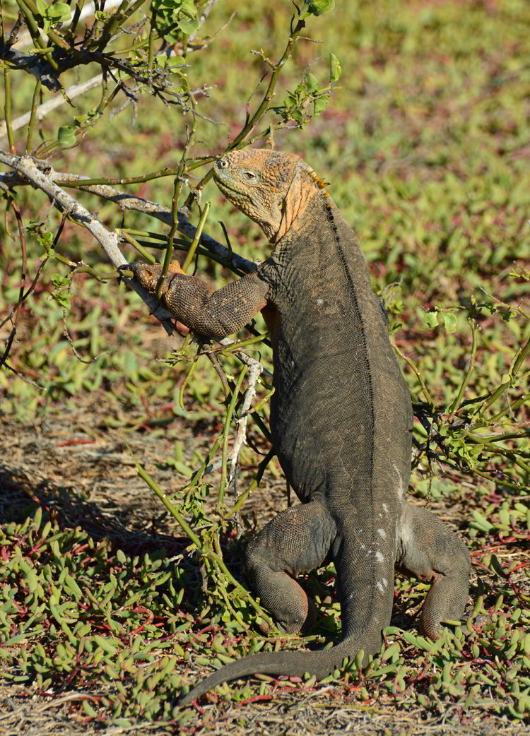 An image of a Galapagos Land Iguana pulling a branch down to feed in the Galapagos islands