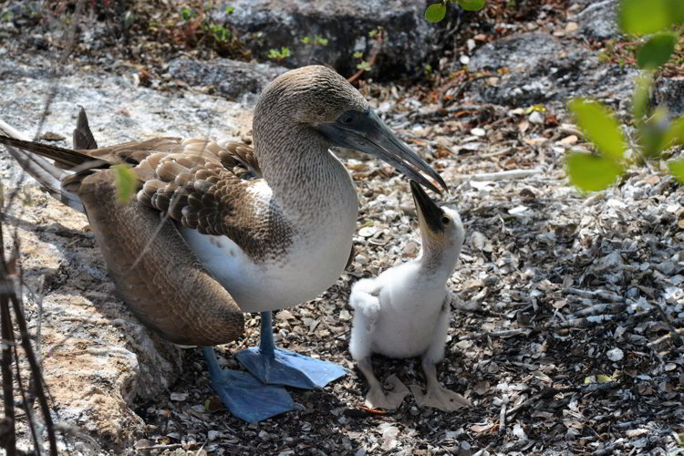 An image of a blue-footed booby and a chick in the Galapagos islands