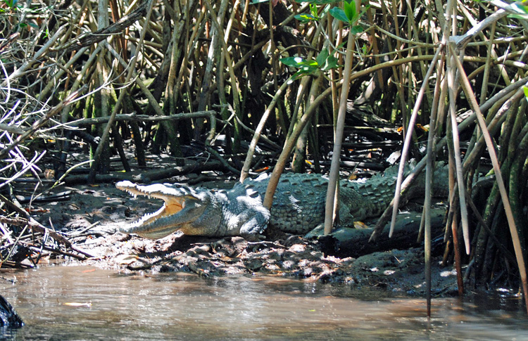 An image of a crocodile in San Blas, Mexico