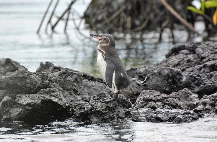 An image of a Galapagos Penguin in the Galapagos Islands