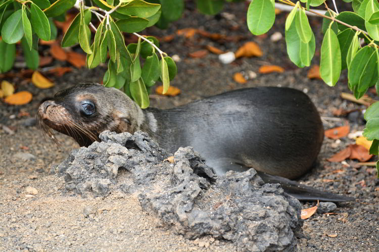 An image of a young Galapagos sea lion pup in the Galapagos Islands