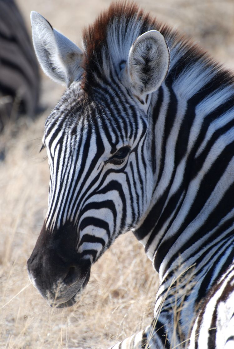 A close up image of a zebra in Etosha National Park in Namibia, Africa