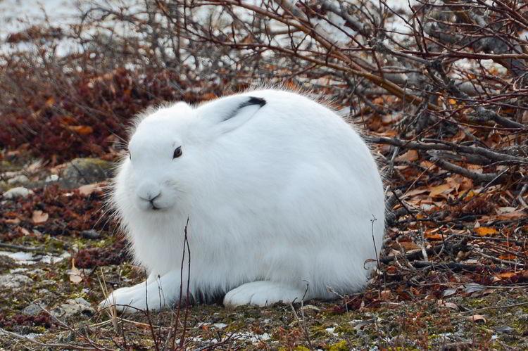 An image of an Arctic hare near Churchill, Manitoba