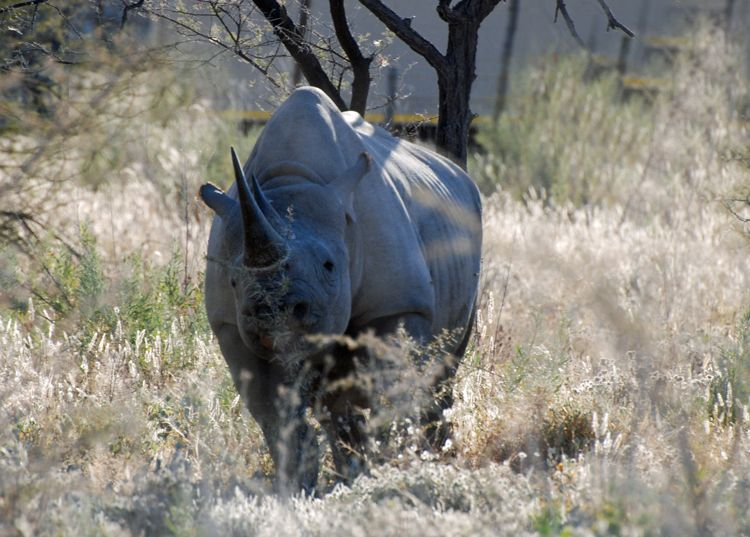 An image of a black rhinoceros in Etosha National Park in Namibia, Africa