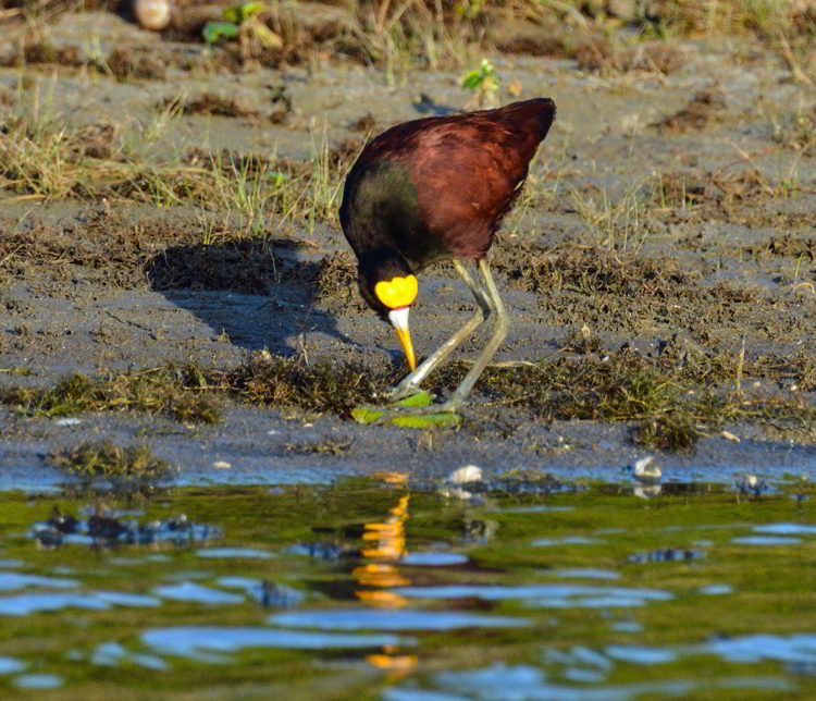 An image of a northern jacana bird at the Crooked Tree Wildlife Sanctuary in Belize