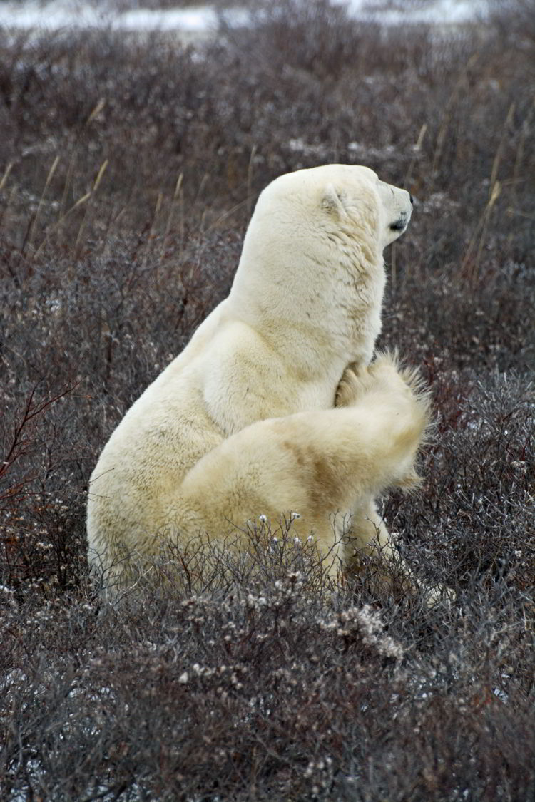 An image of a polar bear scratching himself with his hind leg near Churchill, Manitoba