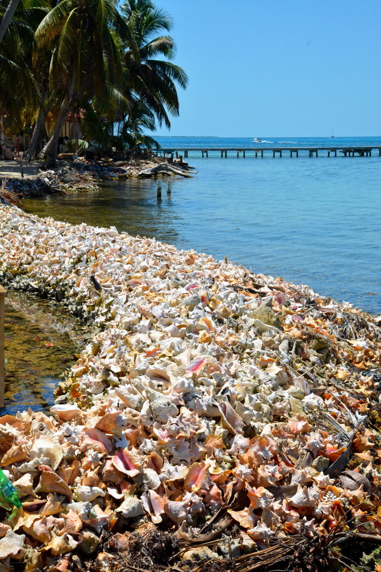 An image of conch shells forming a reef on a beach at Tobacco Caye in Belize