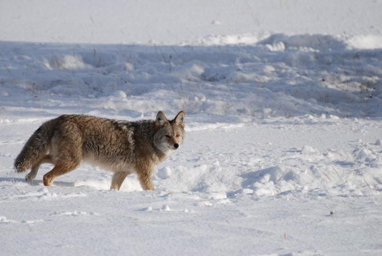 An image of a coyote in Jasper National Park in winter in Alberta, Canada- Jasper in winter - stunning photos
