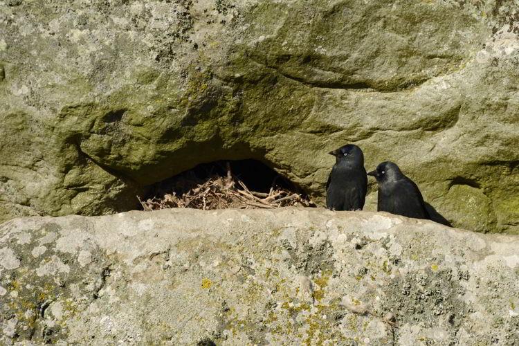 An image of western jackdaws nesting at the Stonehenge site near Salisbury, UK - Stonehenge inner circle tours