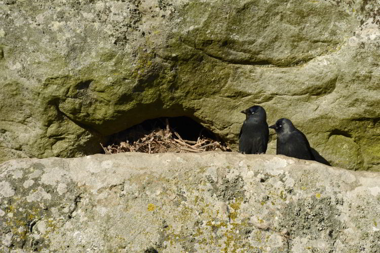 An image of western jackdaws nesting at the Stonehenge site near Salisbury, UK - Stonehenge inner circle tours