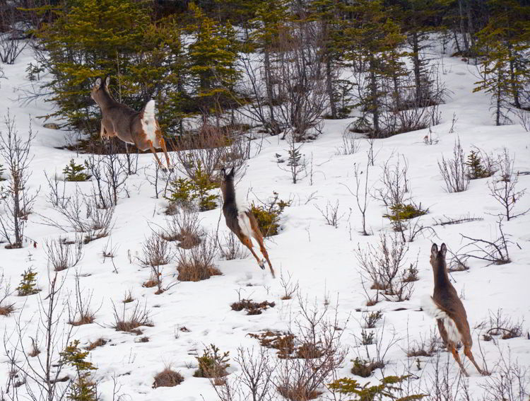 An image of white-tailed deer running away with their tails in the air. Abraham Lake, Alberta