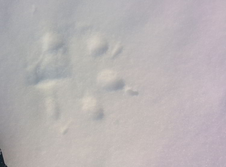 Photo of a wolf track - things to do in Red Deer.