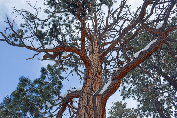 An image of a tree in Bryce Canyon National Park, Utah - Bryce Canyon in winter